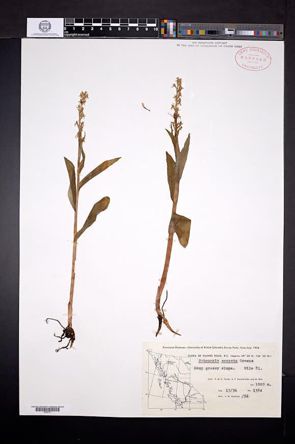 Platanthera stricta image