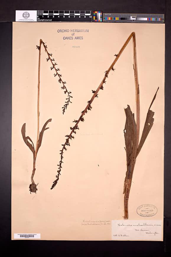 Piperia unalascensis image