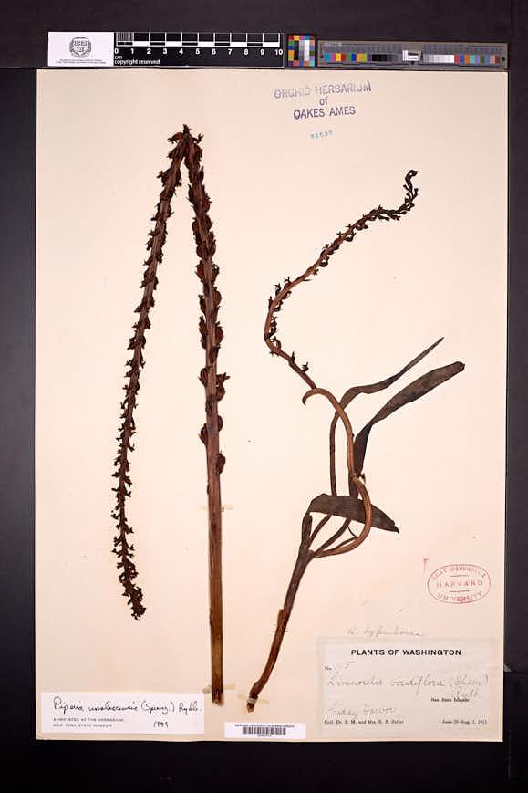 Piperia transversa image