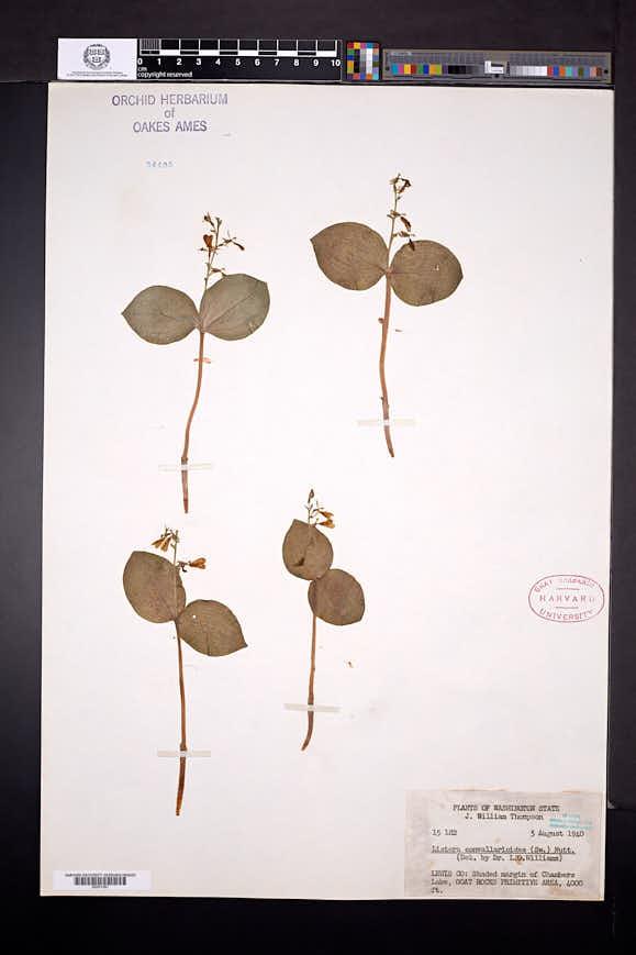 Listera convallarioides image