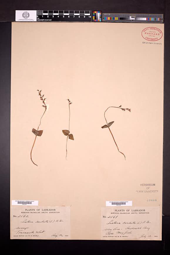 Listera cordata image