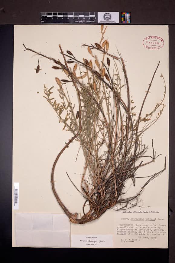 Astragalus leibergii image