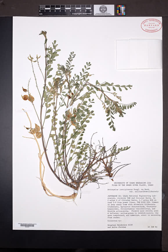 Astragalus lentiginosus image