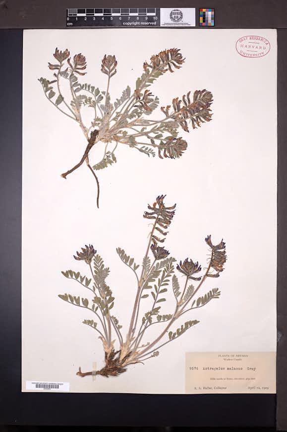 Astragalus malacus image