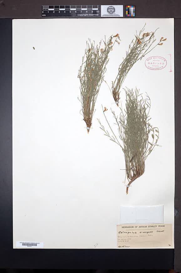 Astragalus miser image