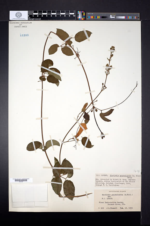 Image of Amphilophium gnaphalanthum