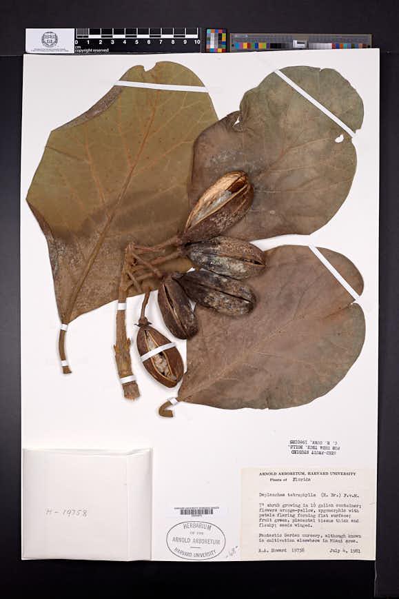 Image of Deplanchea tetraphylla