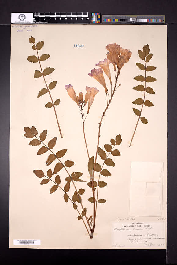 Image of Incarvillea emodi