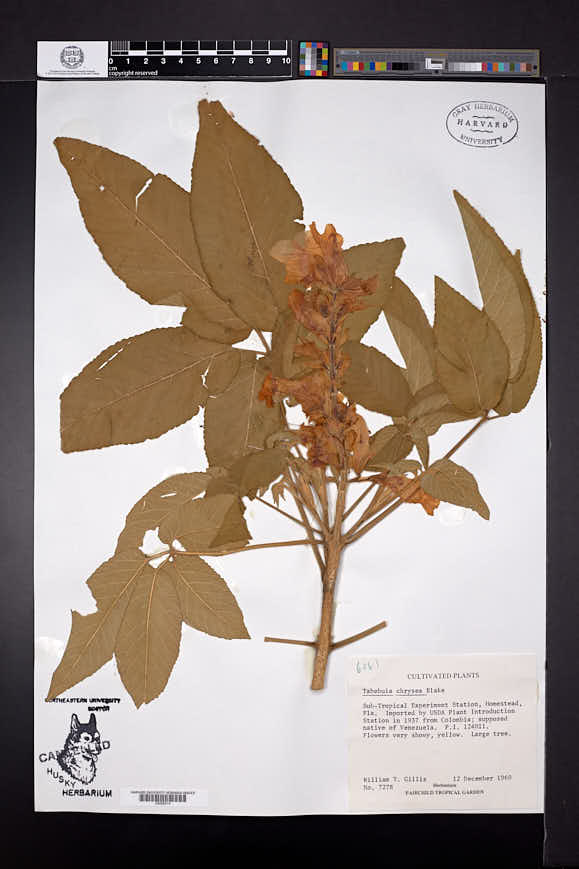 Image of Roseodendron chryseum