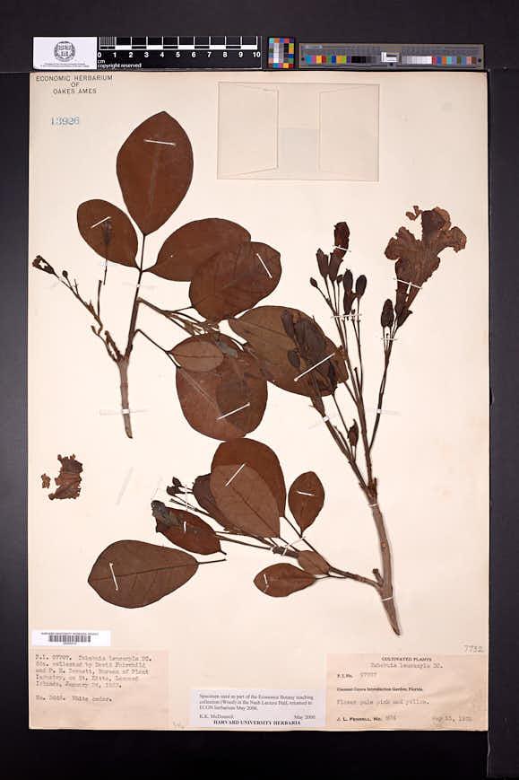Image of Tabebuia obtusifolia