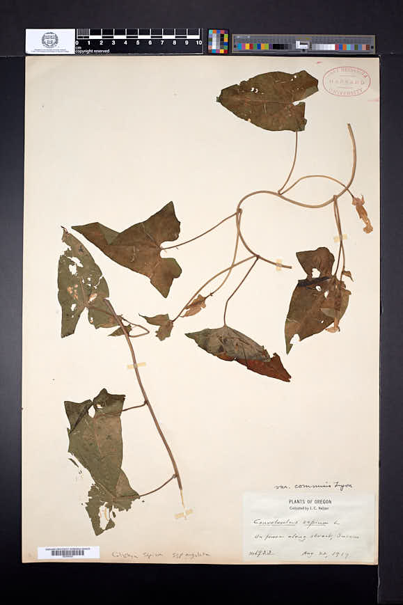 Calystegia sepium image