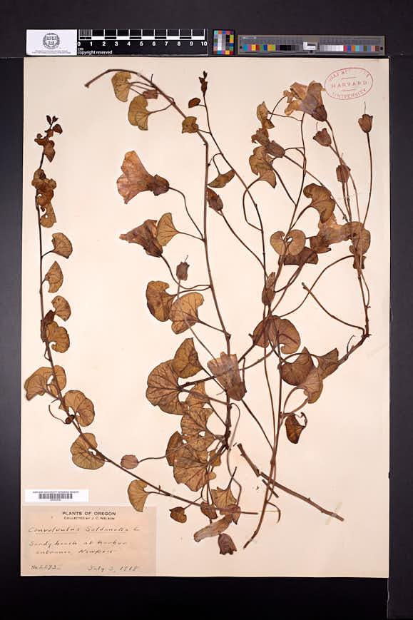 Calystegia soldanella image