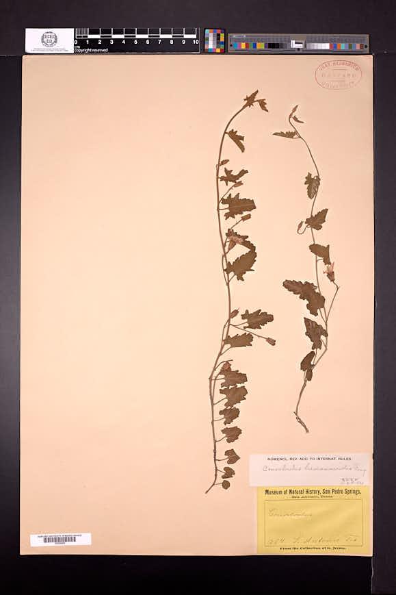 Convolvulus equitans image