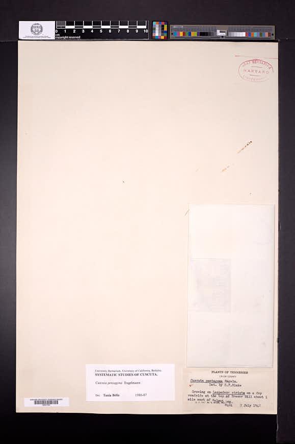 Cuscuta pentagona image