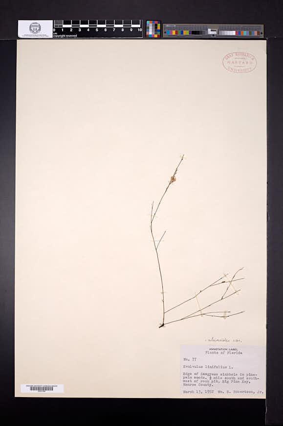 Evolvulus alsinoides var. angustifolius image