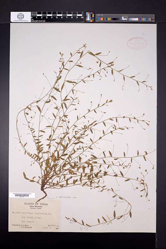 Evolvulus alsinoides image
