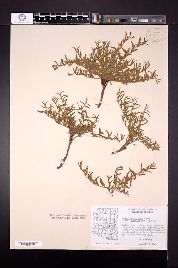 Evolvulus sericeus var. sericeus image