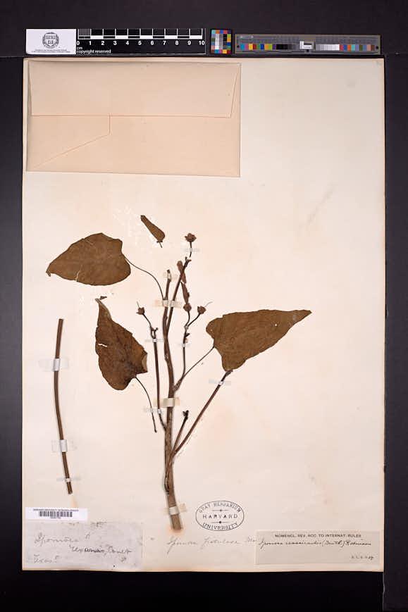Ipomoea aristolochiifolia image