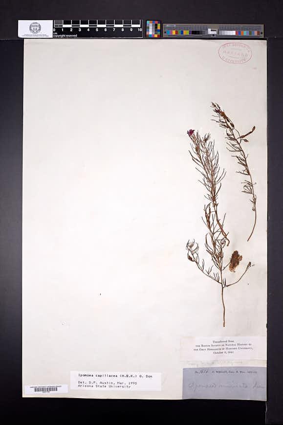 Ipomoea capillacea image