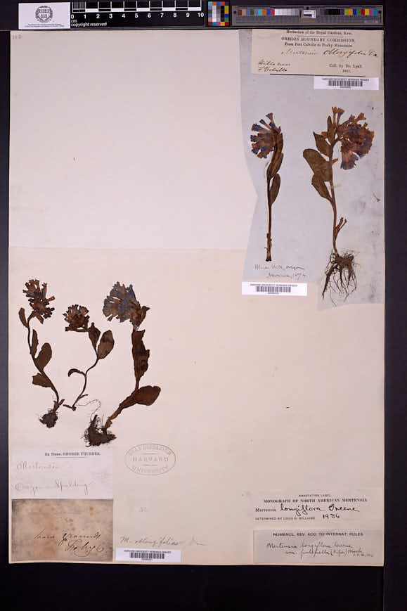 Mertensia longiflora image