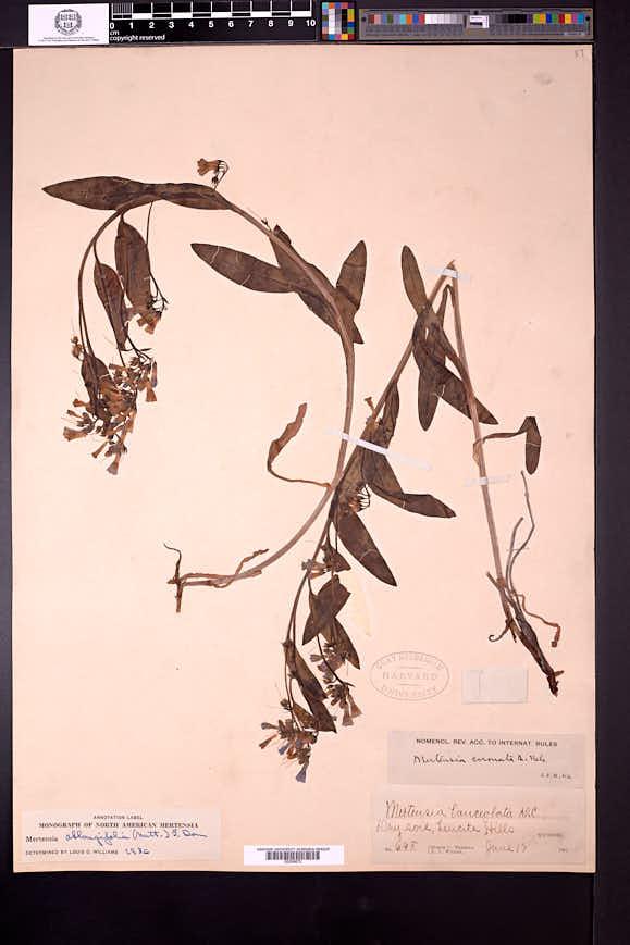 Mertensia oblongifolia image