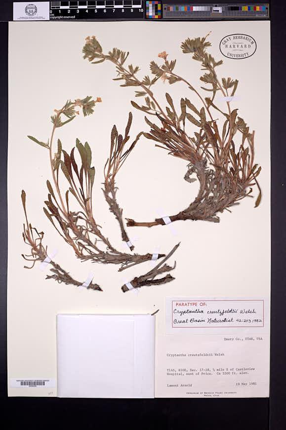 Oreocarya creutzfeldtii image
