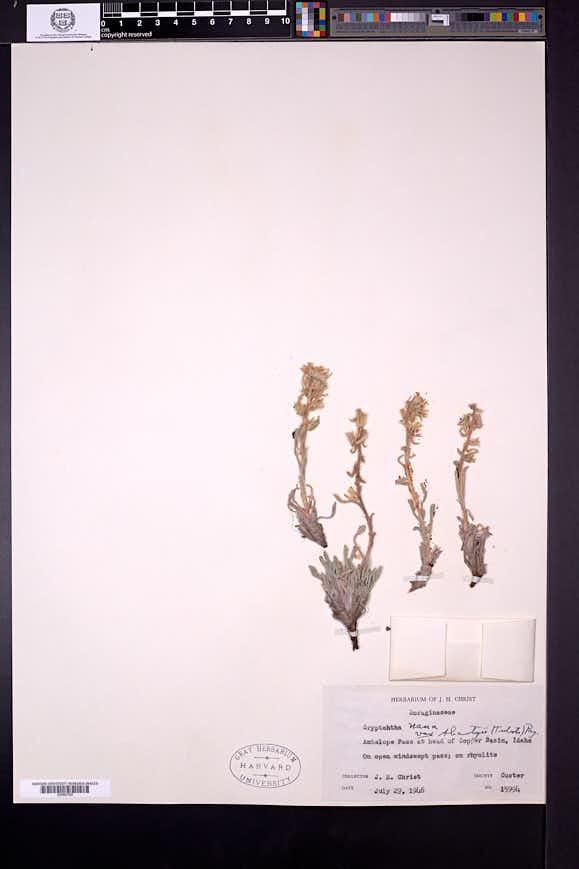 Cryptantha humilis image