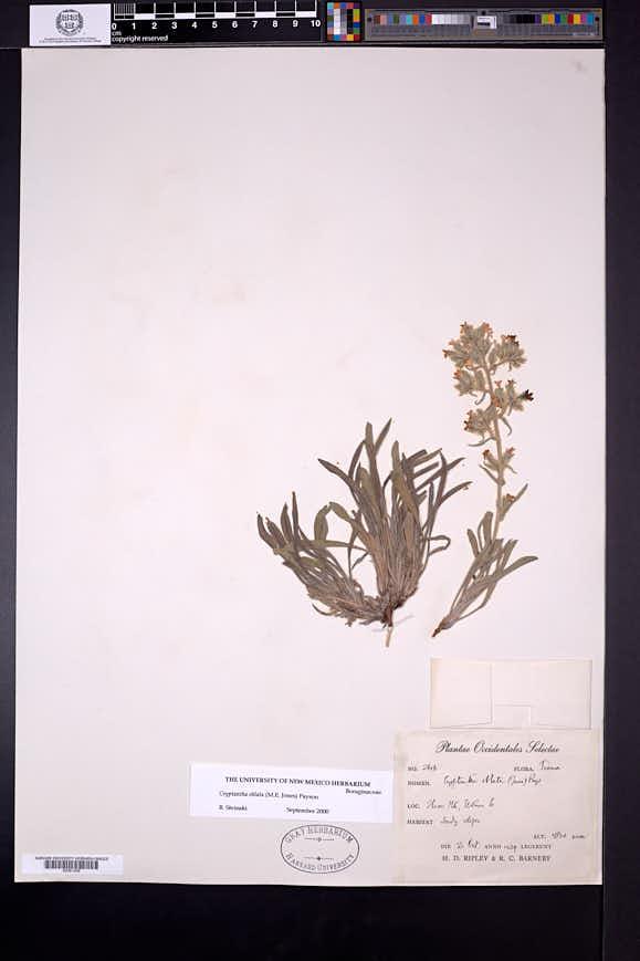 Cryptantha oblata image