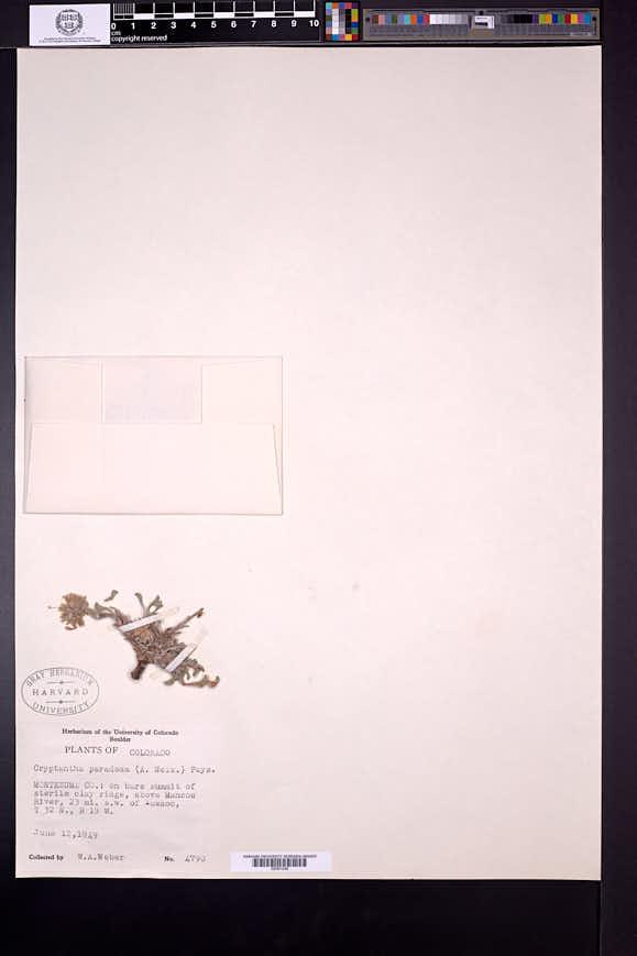 Cryptantha paradoxa image