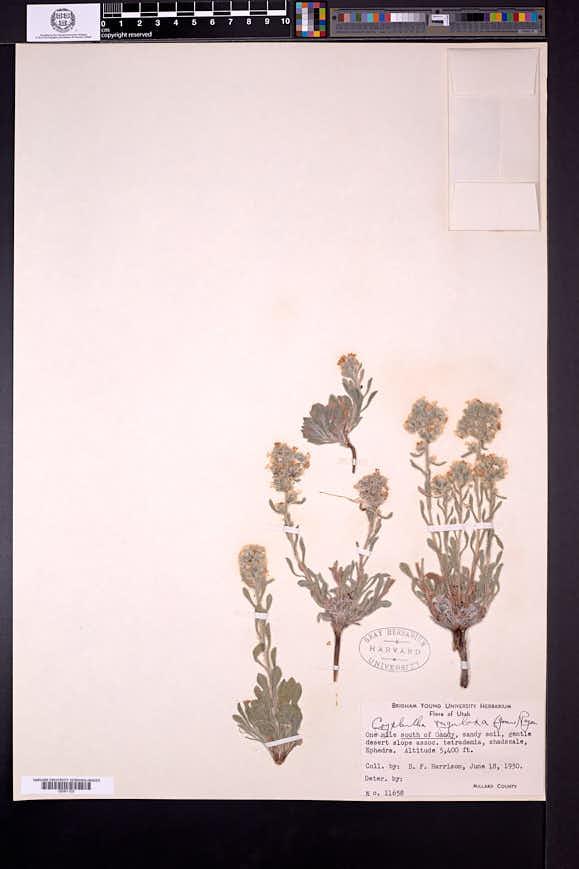 Cryptantha rugulosa image