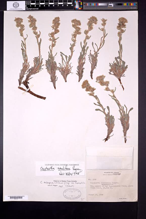 Oreocarya sobolifera image