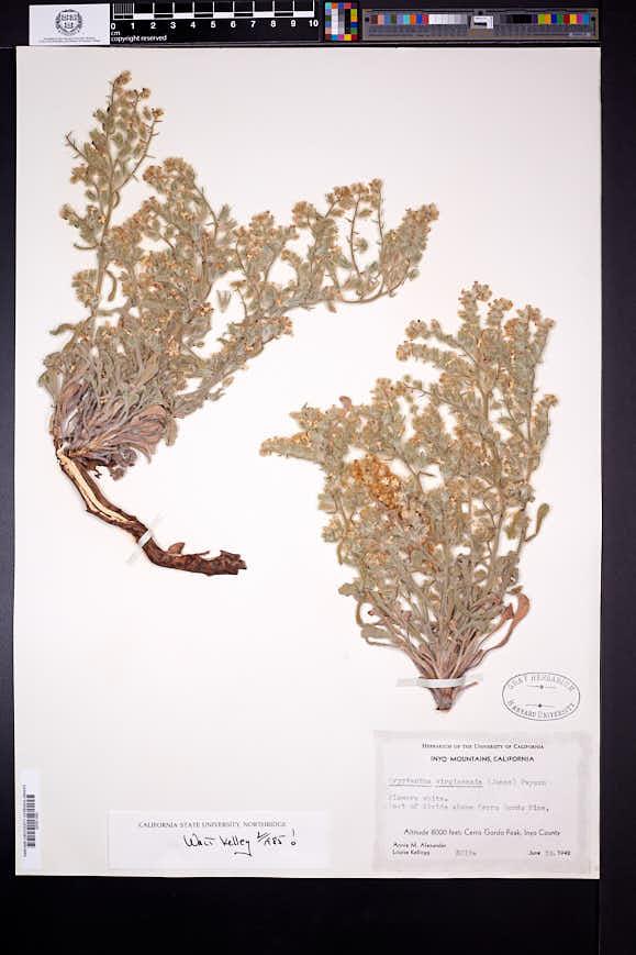 Cryptantha virginensis image