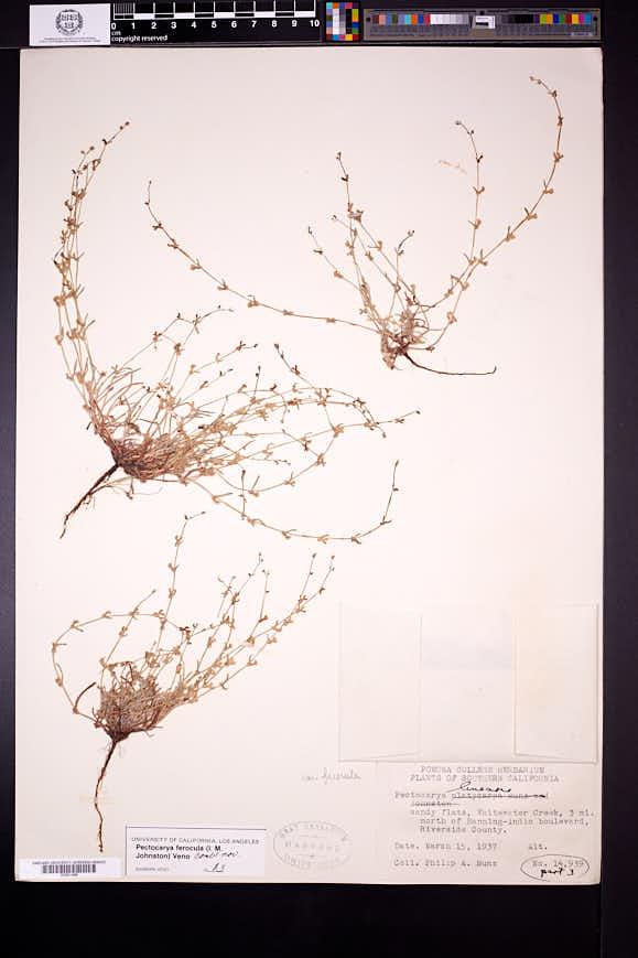 Pectocarya linearis image