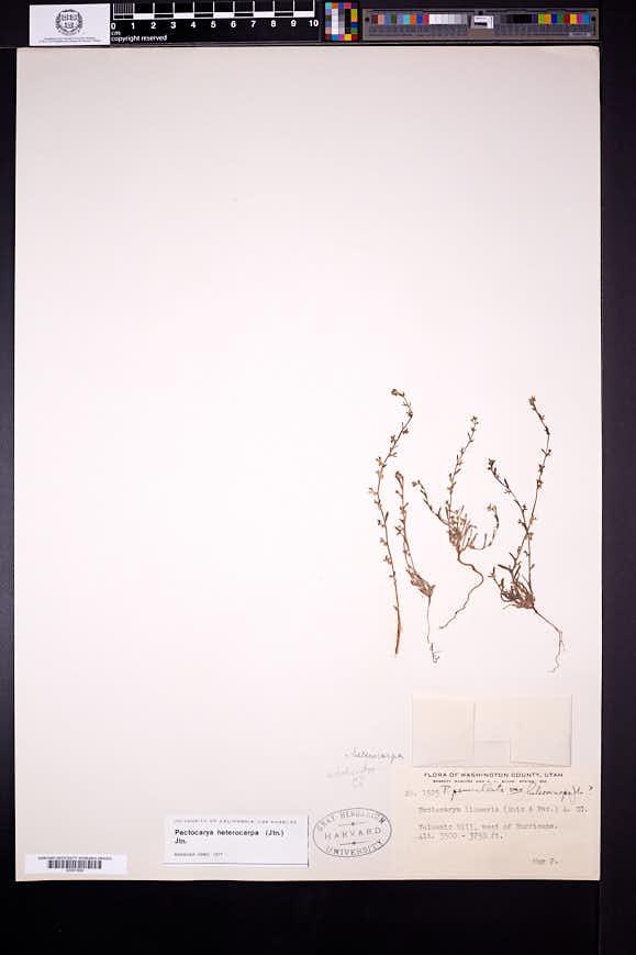 Pectocarya heterocarpa image