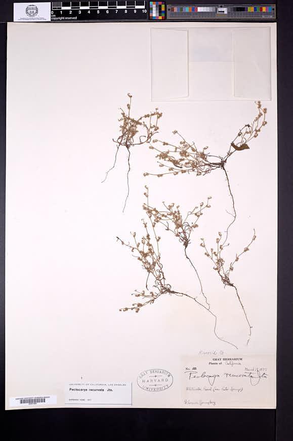 Pectocarya recurvata image
