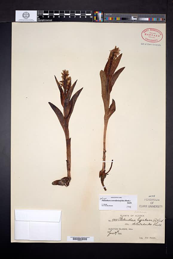 Image of Platanthera convallariifolia