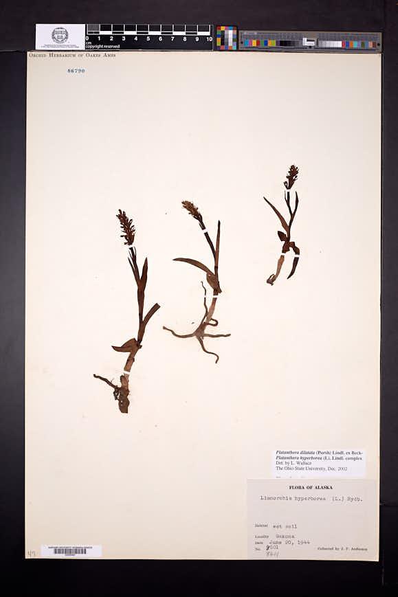 Platanthera dilatata image