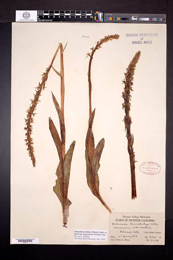 Platanthera dilatata var. leucostachys image