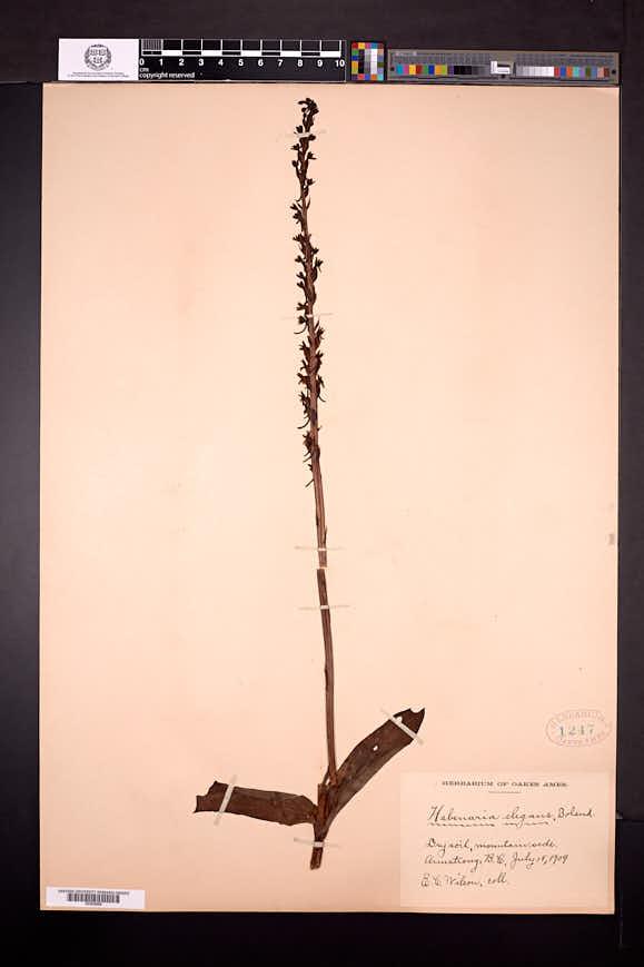 Image of Platanthera elegans