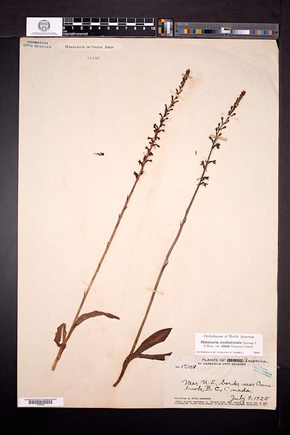 Platanthera elongata image
