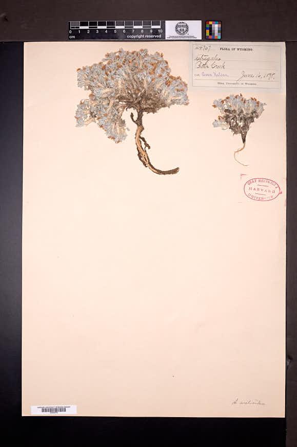 Astragalus aretioides image