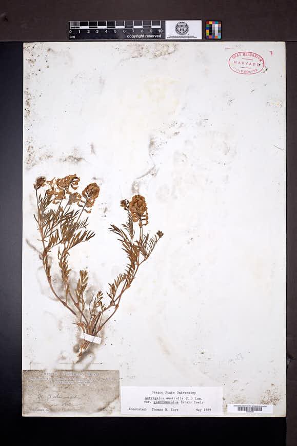 Astragalus australis image