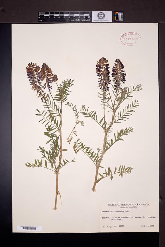 Astragalus bisulcatus image