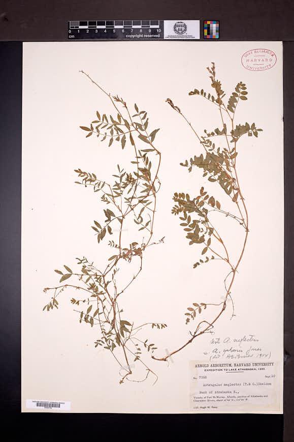 Astragalus bodinii image