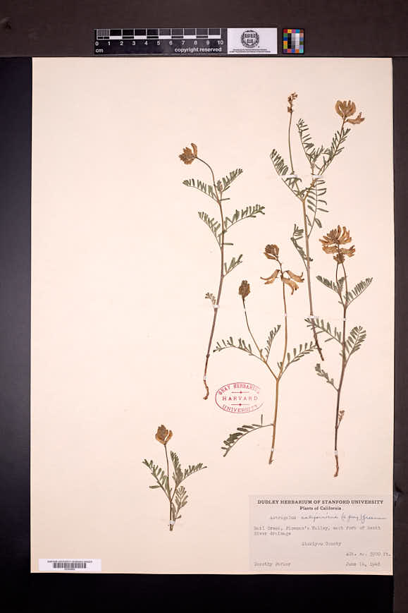 Image of Astragalus californicus