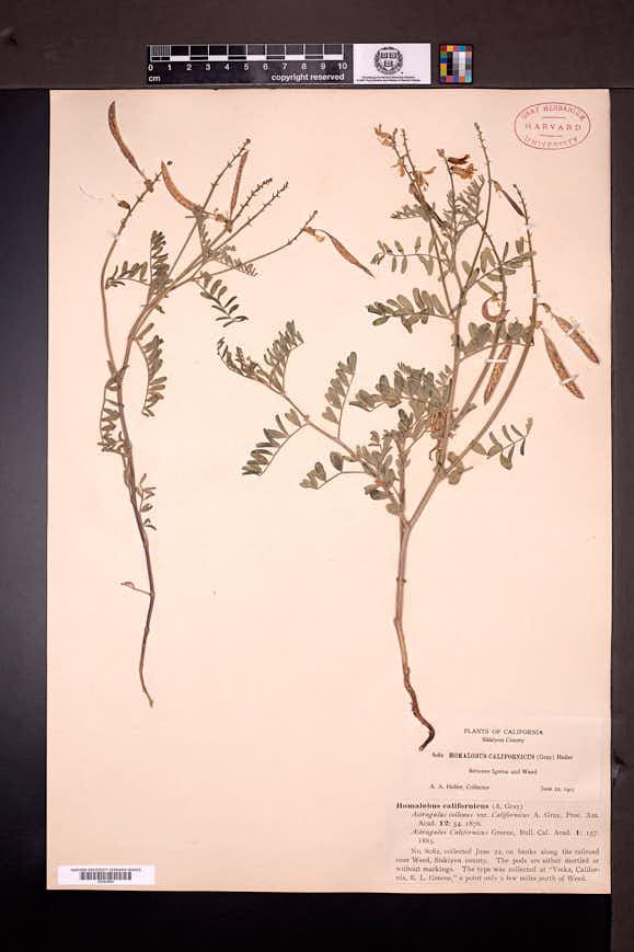 Astragalus californicus image