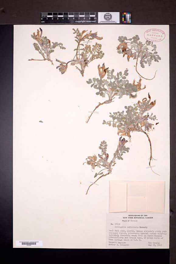 Astragalus callithrix image