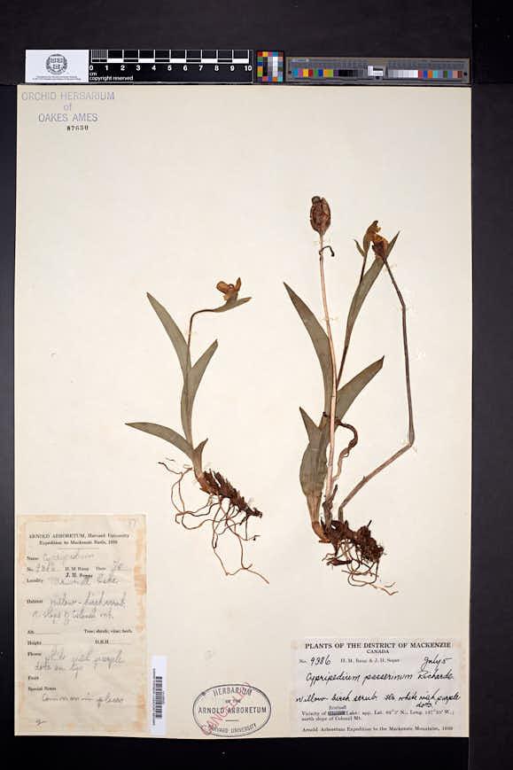 Cypripedium passerinum image
