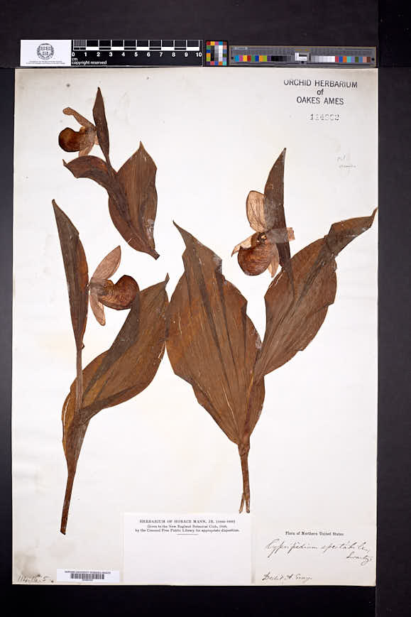 Cypripedium reginae image