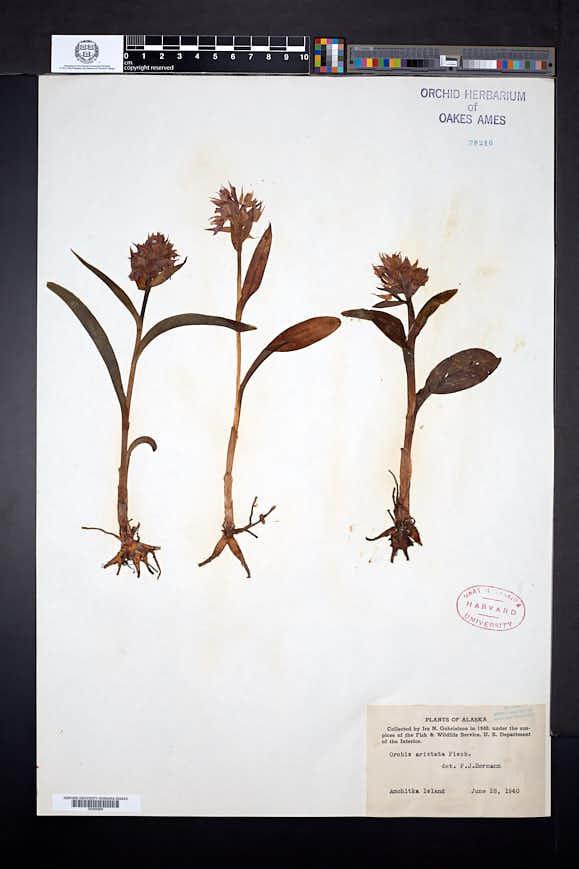 Dactylorhiza aristata image